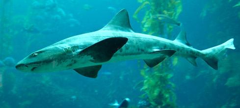 requin-de-nausicaa-emissole